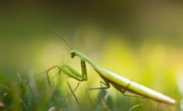 Mantis religiosa - Calugarita