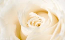 Trandafir alb4 263x160 Anul ce a trecut
